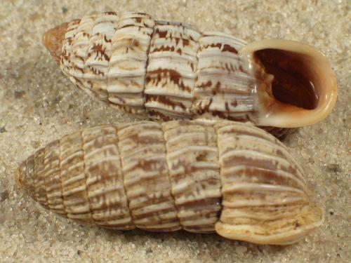 Cerion chrysalis CU 2,8+cm