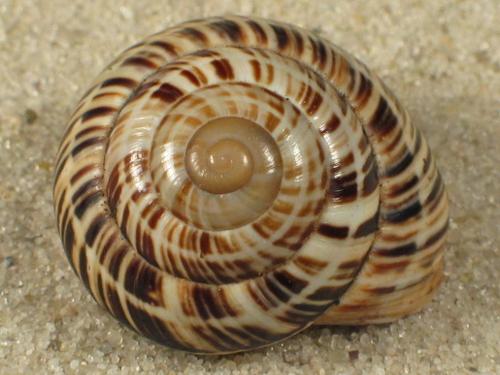 Coryda dennisoni CU 2,2+cm