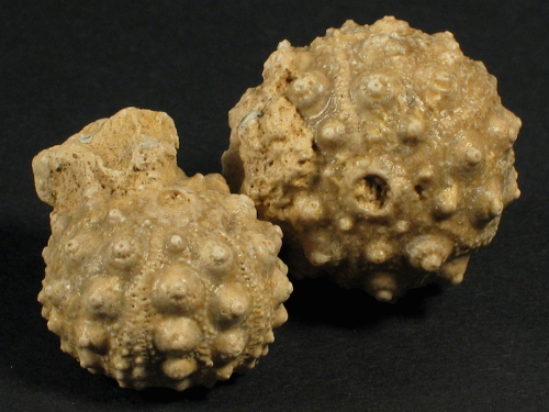 Hemicidaris intermedia Jura FR 2,2+cm