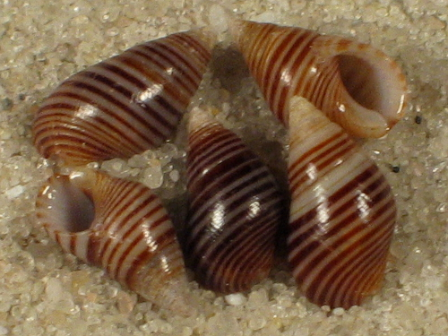 Planaxis lineatus GD 0,5+cm
