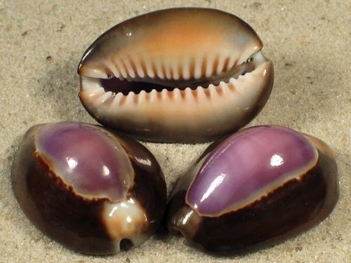 Cypraea caputserpentis violett 3+cm