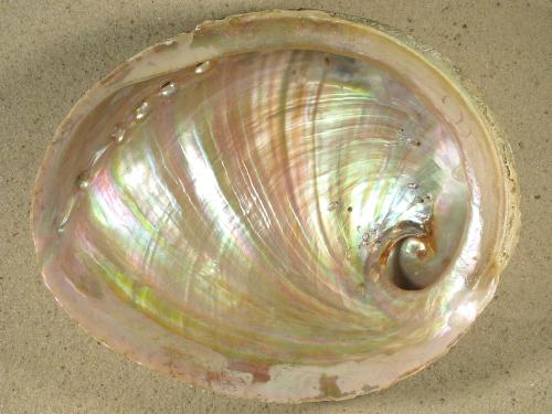 Haliotis laevigata roh AU 17+cm ~ Sonderpreis