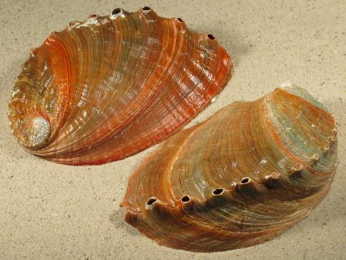 Haliotis discus TH 12,5+cm