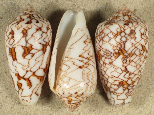 Conus pennaceus MG 4,5+cm