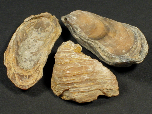Praeexogyra hebridica Jura UK 2,5+cm