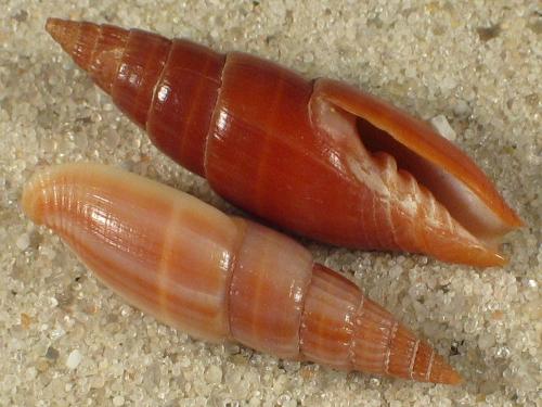 Vexillum acuminatum politum PH 1,7+cm