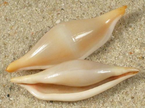 Phenacovolva brevirostris TW 2,8+cm
