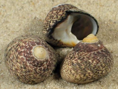 Phorcus lineatus FR-Ärmelkanal 2+cm