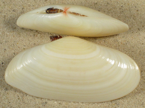 Tellina radiata unimaculata US 5,6+cm