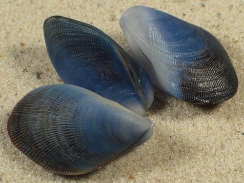 Septifer bilocularis *blau* TH 2,5+cm