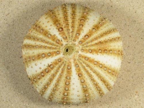Gracilechinus acutus norvegicus IE 8,6cm *Unikat*