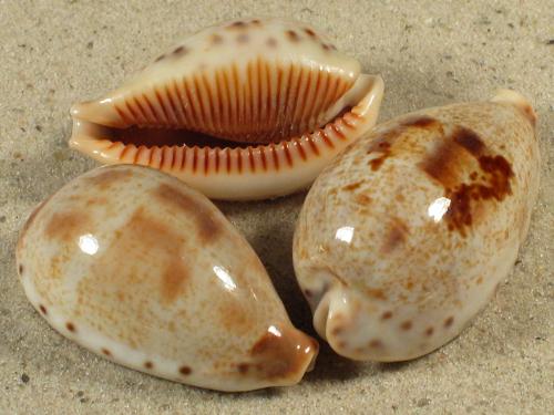 Cypraea pulchella JP 3,2+cm
