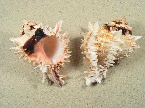 Chicoreus regius 10+cm