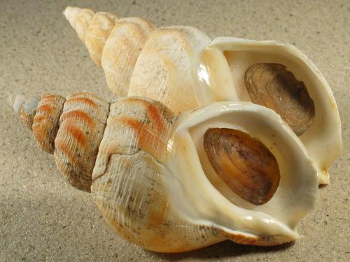 Buccinum undatum m/O UK-Nordsee 9+cm