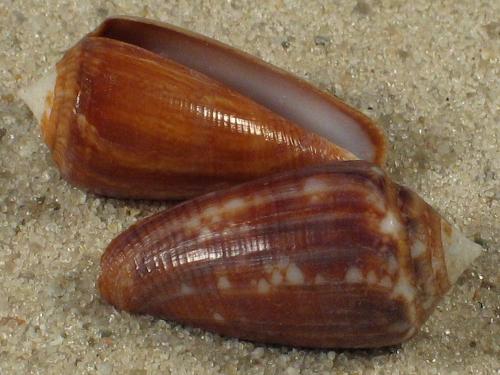 Conus barbieri PH 2,2+cm