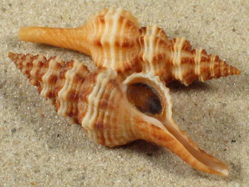 Fusinus pulchellus m/O ES-Mittelmeer 3,9+cm