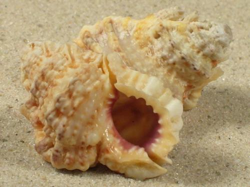 Bursa rosa ZA 2,9+cm