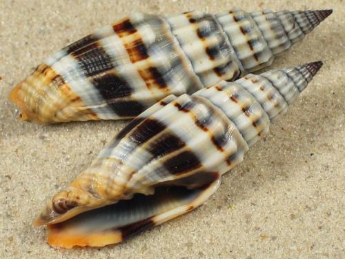 Vexillum flaveoricum PH 4+cm
