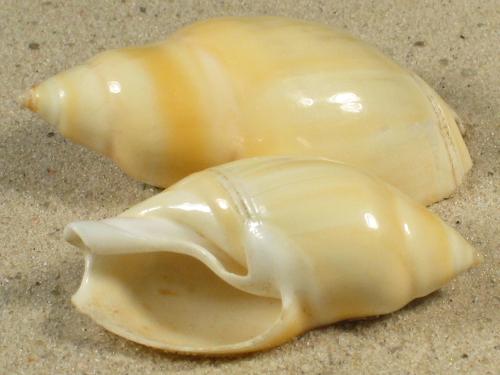 Eburna glabrata VE 4,9+cm