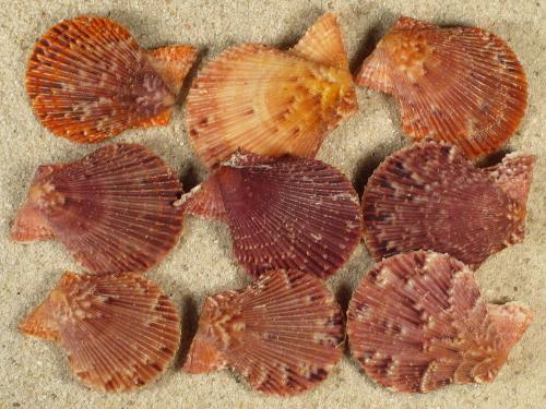 Mimachlamys varia GR 2+cm (x3)