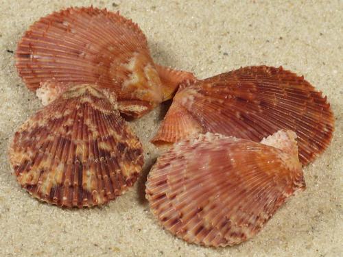 Mimachlamys varia GR 3,5+cm