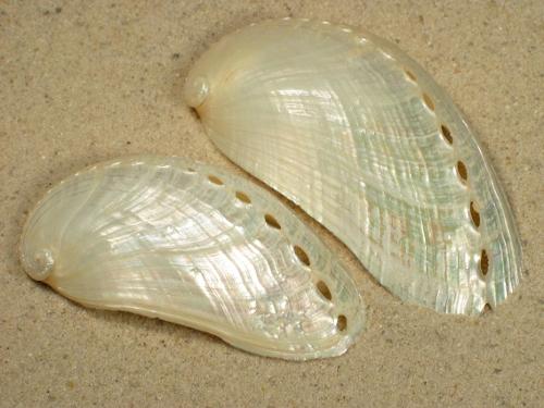 Haliotis asinina Perlmutt 7+cm