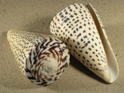 Conus leopardus 8+cm