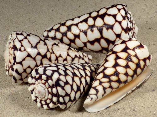 Conus marmoreus PH 6+cm