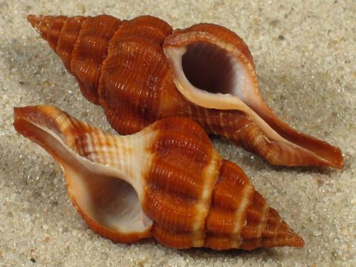 Fusolatirus paetelianus PH 3,3+cm
