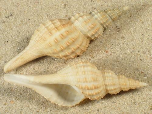 Granulifusus niponicus TW 6,3+cm