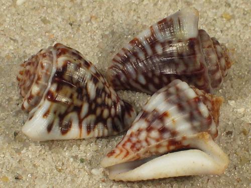 Microcithara harpiformis PA 1,5+cm