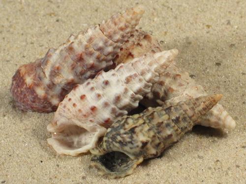 Cerithium vulgatum FR-Mittelmeer 3+cm
