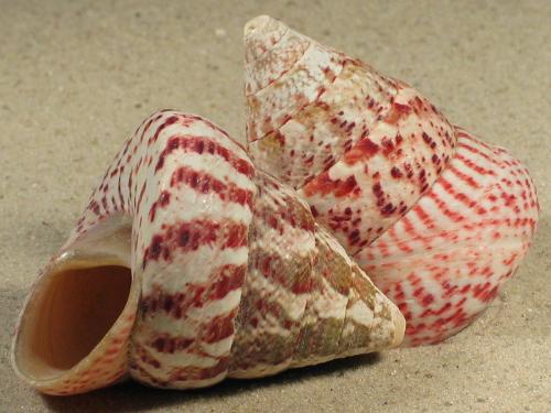 Tectus conus 6+cm