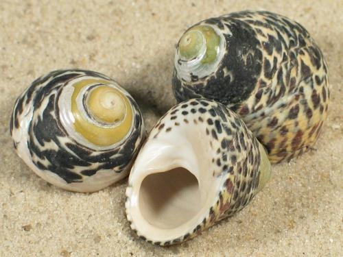 Phorcus turbinatus FR-Mittelmeer 2+cm