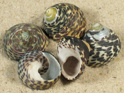 Phorcus turbinatus FR-Mittelmeer 1,5+cm