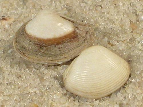 Corbula gibba UK 0,5+cm