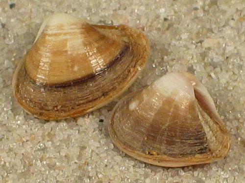 Corbula gibba MA 0,7+cm