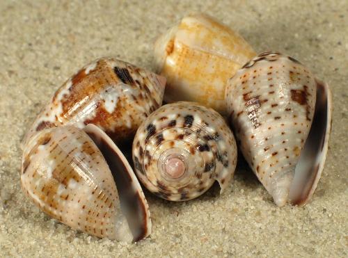 Conus coronatus 2+cm