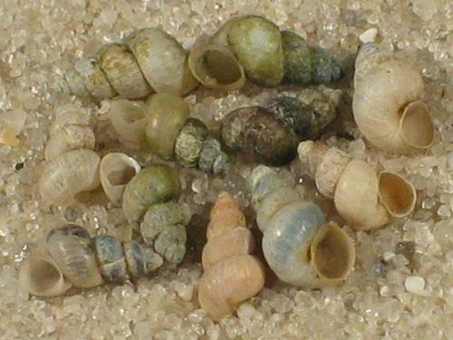 Ecrobia ventrosa DE 0,3+cm (x5)
