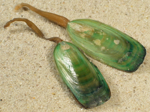 Lingula anatina PH 5,5+cm