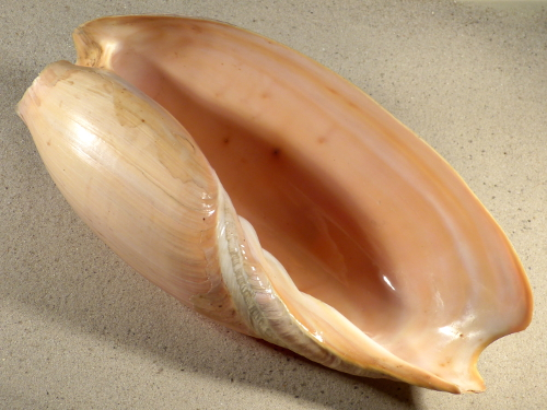 Cymbium glans SN 28cm *Unikat*