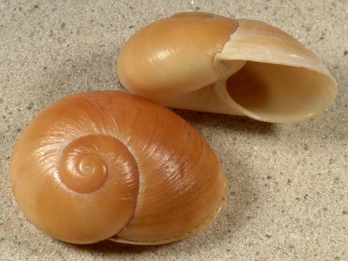 Helicophanta petiti MG 4,3+cm