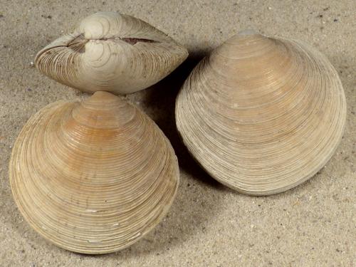 Dosinia exoleta UK 4,5+cm