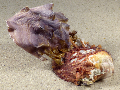 Lopha cristagalli auf Spondylus-Klappe PH 9,8cm