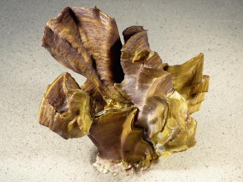 Lopha cristagalli *Cluster* PH 13,5cm