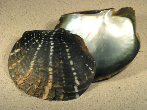 Pinctada margaritifera 1/2 13+cm