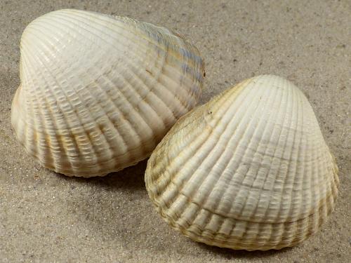 Cerastoderma glaucum FR-Mittelmeer 4+cm