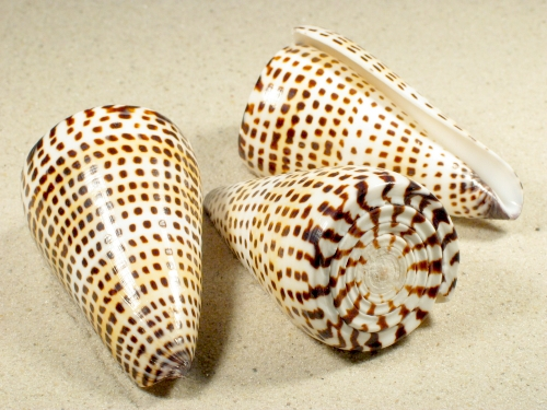 Conus litteratus 7+cm