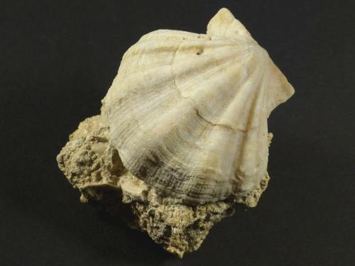 Flexopecten flexuosus Pliozän ES 3,7cm