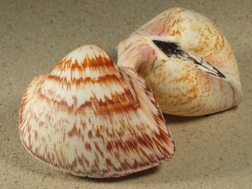 Cucullaea labiata 7,5+cm
